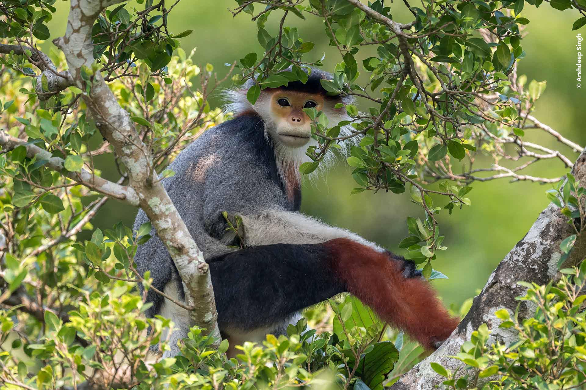 A monkey in a tree gazes calmly at the camera