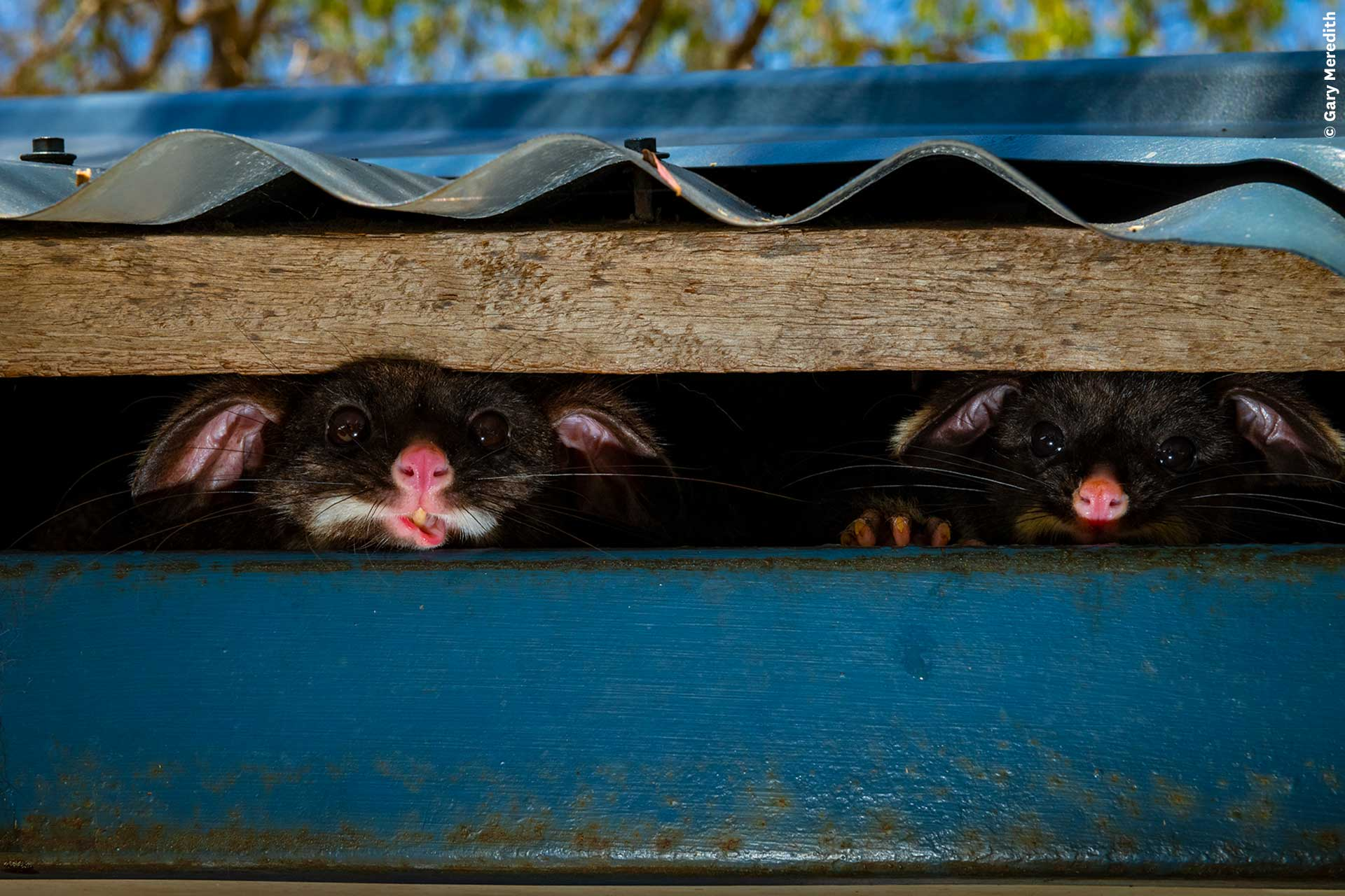 Two possums stare out from under a roof