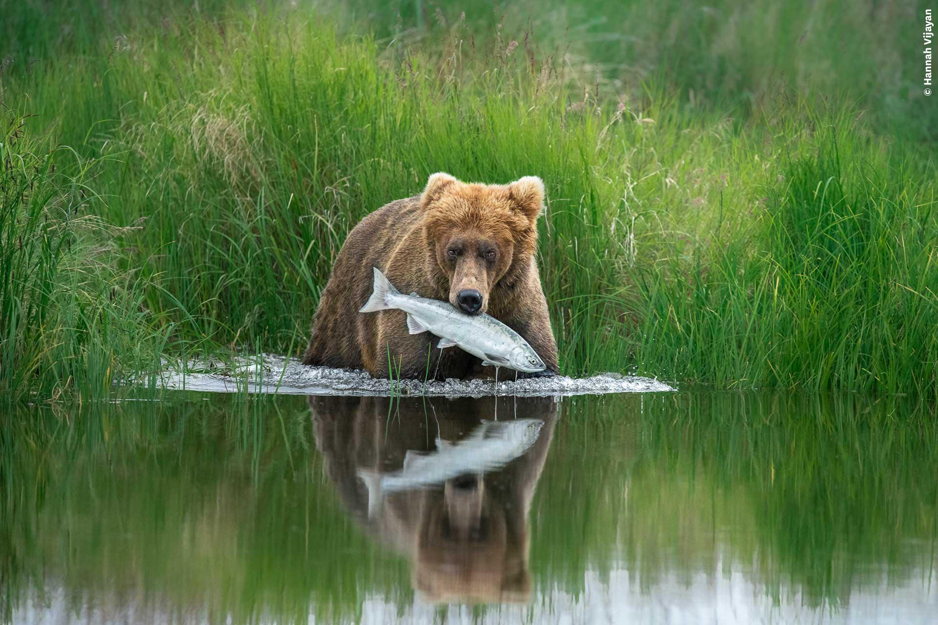 A bear catches a fish from a river