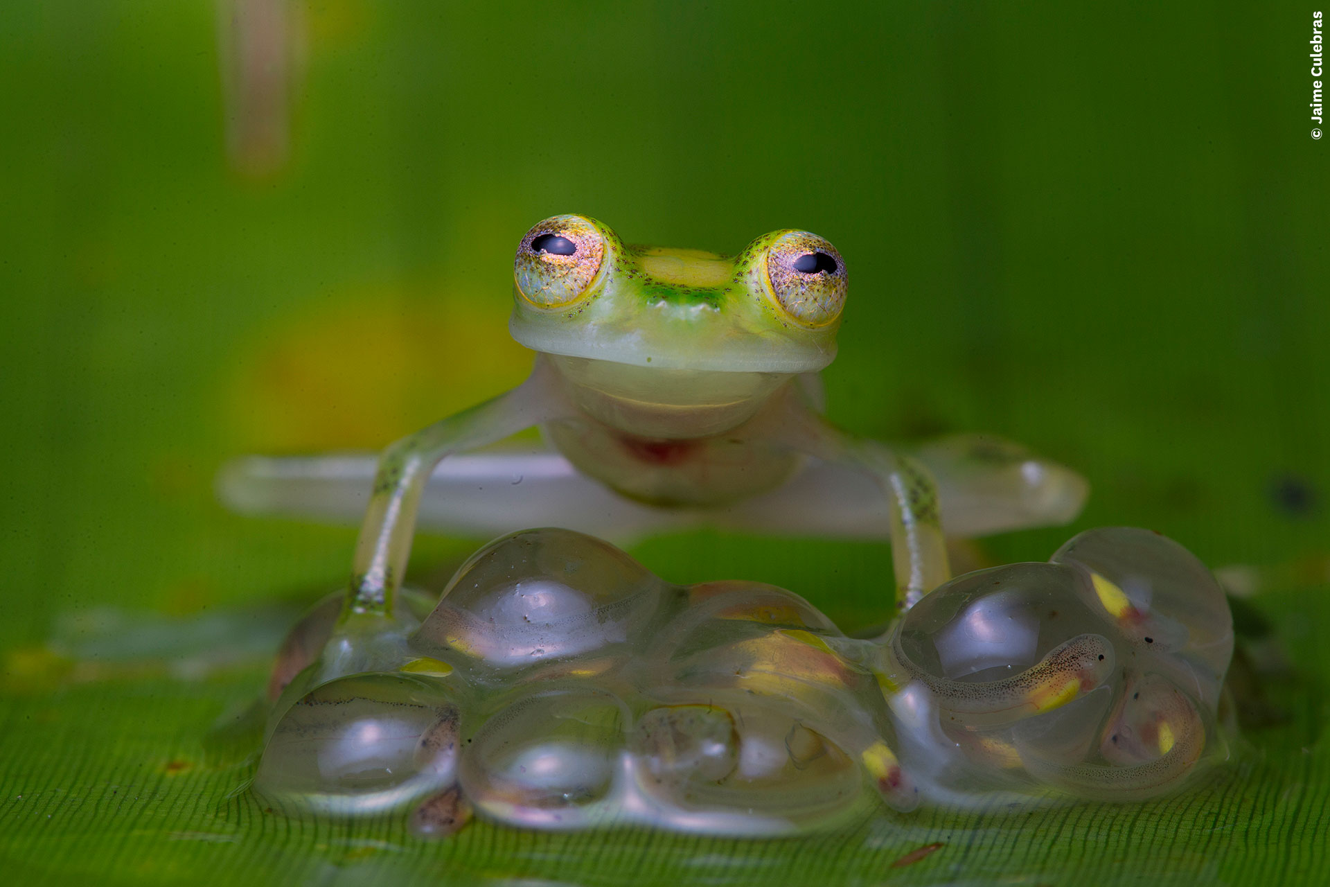 A green frog sits on its eggs against a green background