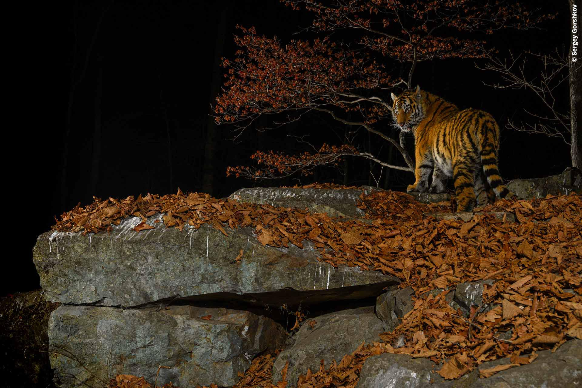 A tiger on a clifftop at night