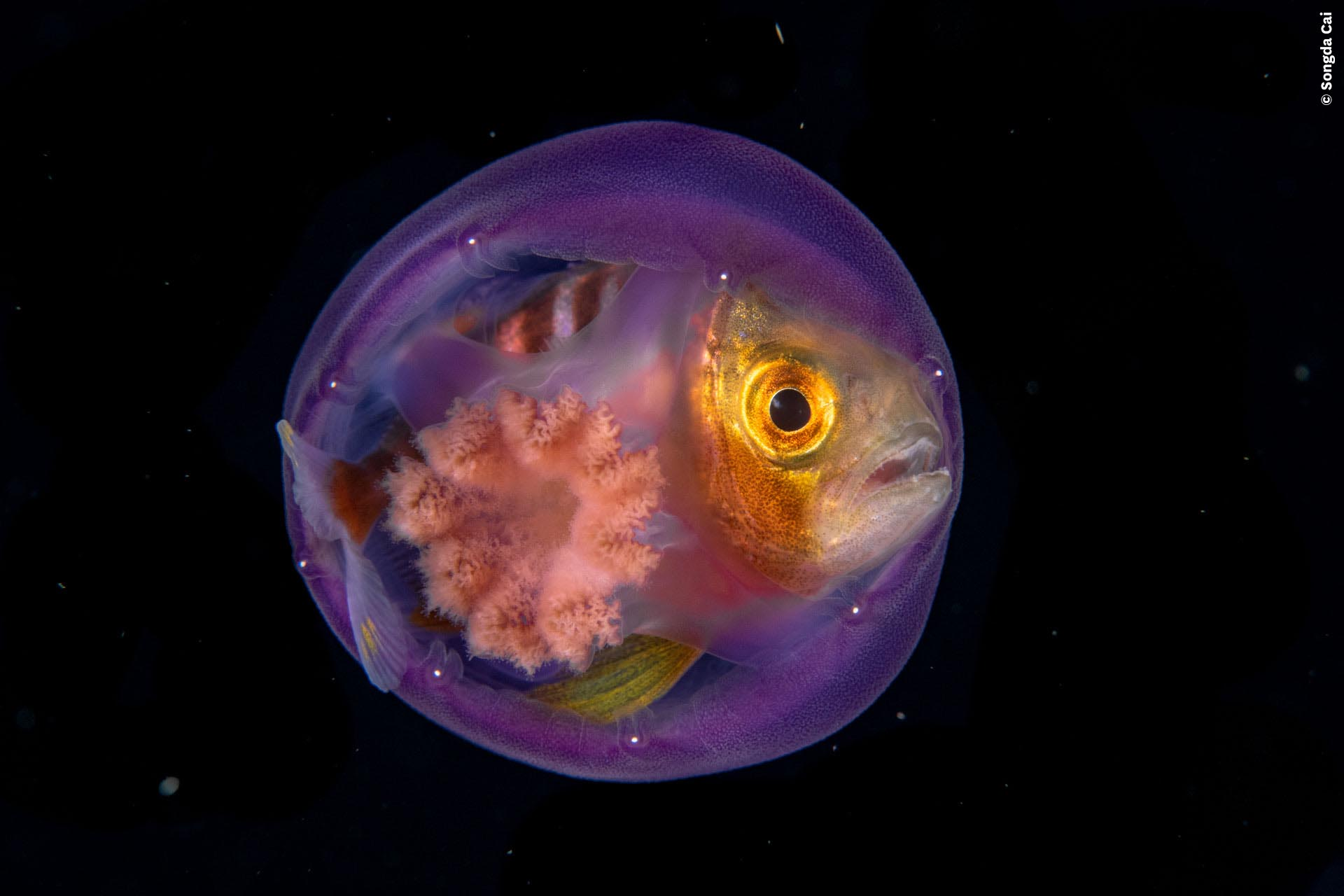 A fish hiding in a jellyfish
