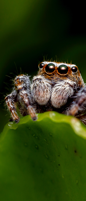 A cute jumping spider on the edge of a green leaf