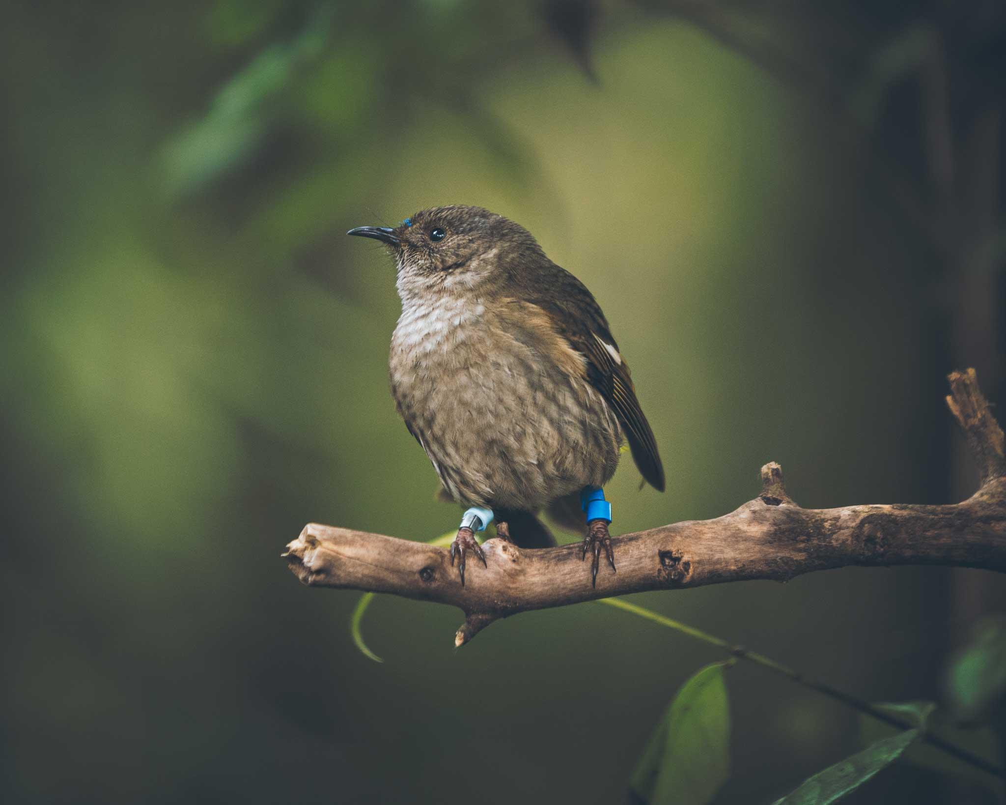 A stitchbird sitting on a branch