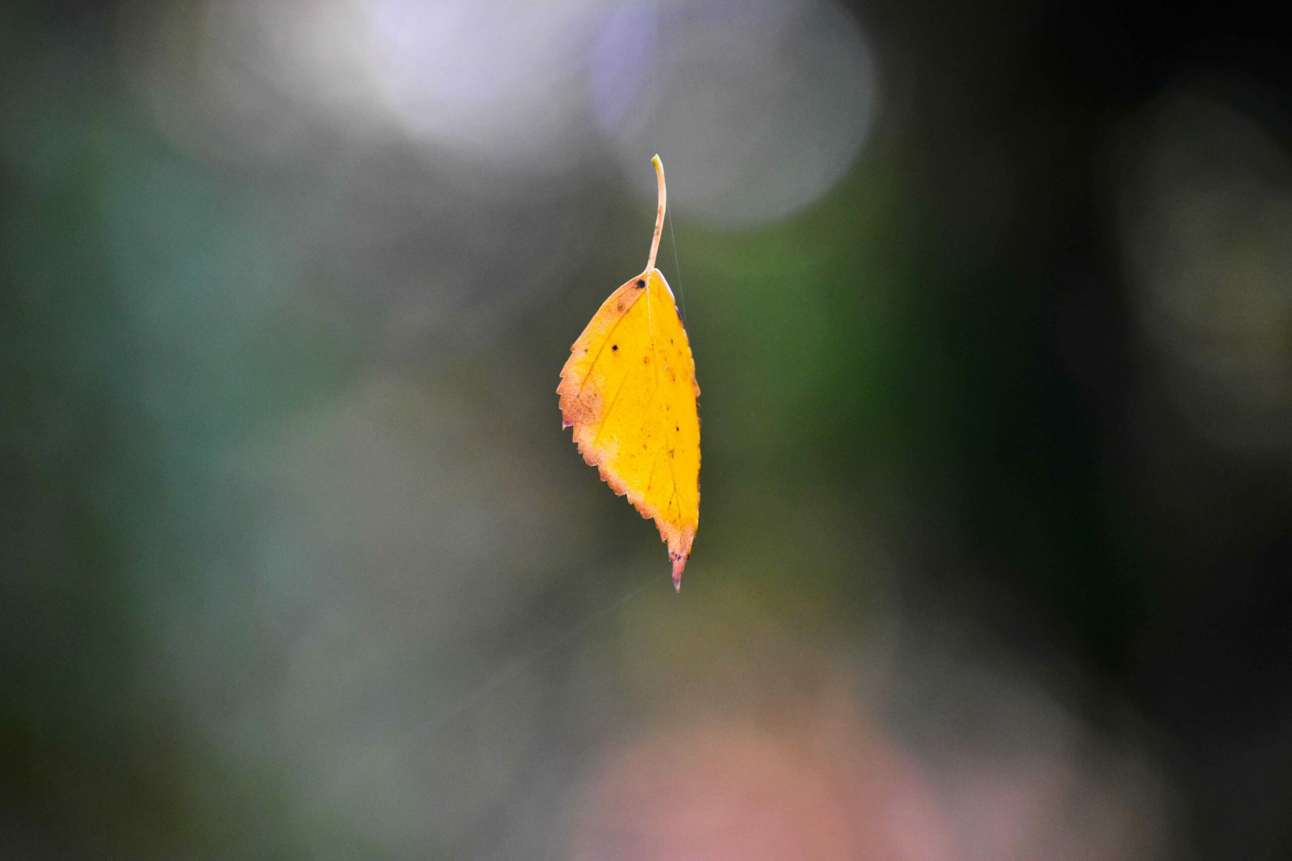 A yellow leaf hangs suspended from spider silk